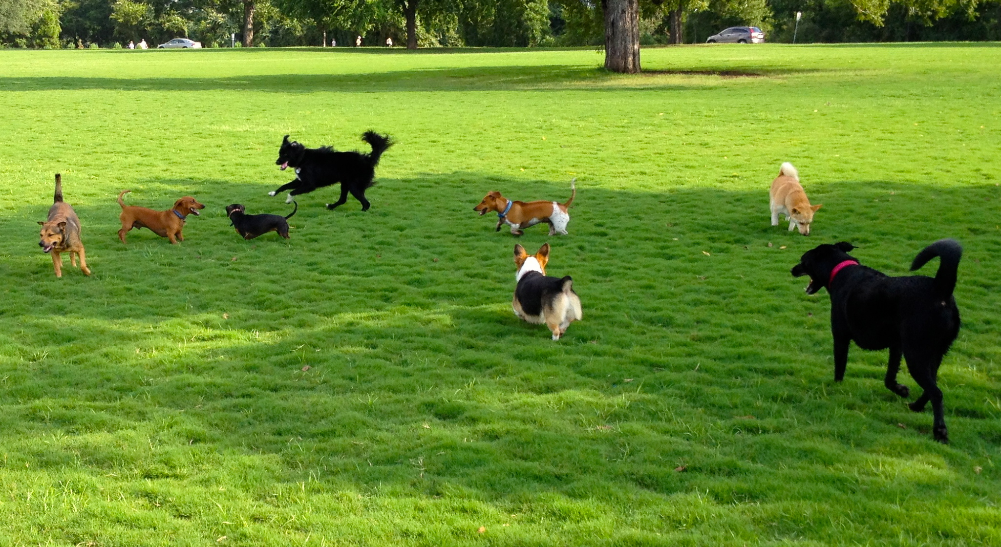 Multiple dogs off-leash in a park setting